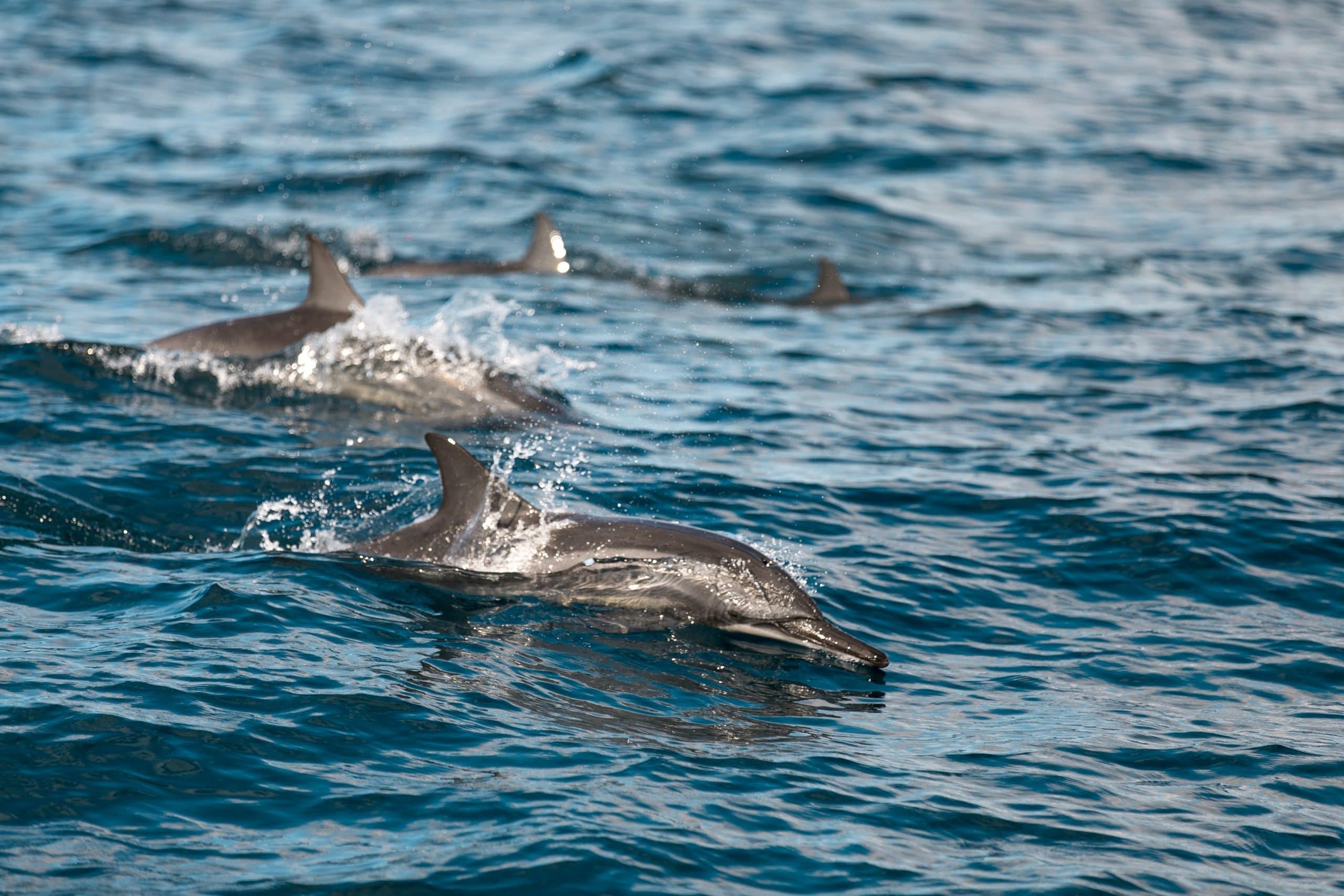 lune-miel-costa-rica-animaux-dauphin